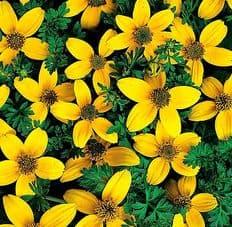 Bidens Golden Eye - Hanging basket variety - 30 seeds