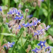 Borage  - Attracts Bees - 200 seeds / 400 seeds