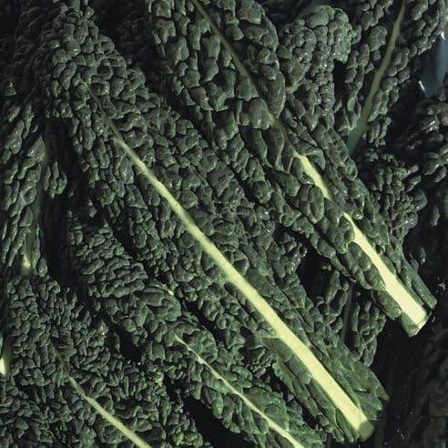 Borecole Black Tuscany - Kale - appx 300 seeds