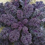 Borecole Scarlet - Kale - Appx 2000 seeds