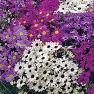 Brachycome iberidifolia mixed - 1 gramme - appx 5,600 seed