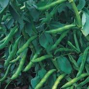 Broad Bean Aquadulce 30 seeds
