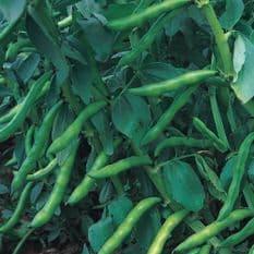 Broad Bean Aquadulce - Appx 60 seeds