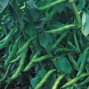 Broad Bean Bunyards Exhibitioon - 1kg - 25kg Bulk Discounts available