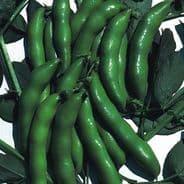 Broad Bean The Sutton - 1kg - 25kg Bulk Discounts available