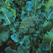 Broccoli Calabrese Di Cicco - Appx 2000 seeds