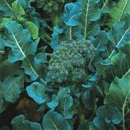 Broccoli Calabrese Di Cicco - Appx 500 seeds