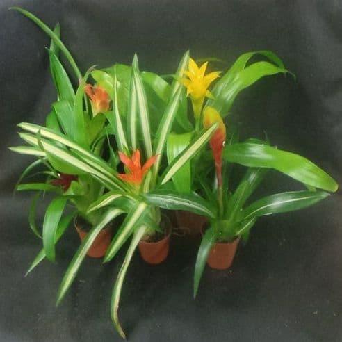 Bromeliad Species - Mixed - 5 plants
