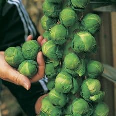 Brussels Sprout F1 Trafalgar Seeds - 50 seeds