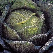 Cabbage F1 Endeavour (Savoy) 30 seeds
