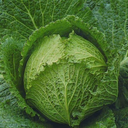 Cabbage F1 Tundra - 50 seeds