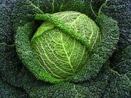 Cabbage F1 Wirosa  (Savoy) 20 seeds