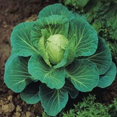 Cabbage Golden Acre - Primo - 50 grams - Bulk Discounts available