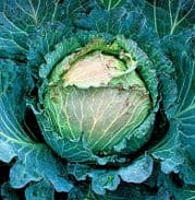 Cabbage January King - Appx 1600 seeds