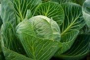 Cabbage Langedijker 4 - coleslaw cabbage - Appx 1,500 Seeds
