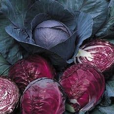 Cabbage Red Drumhead 25 grams - Bulk Discounts available