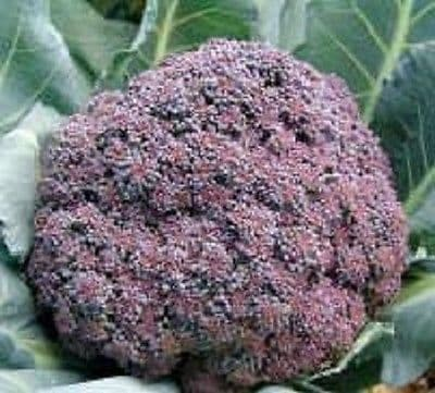 Calabrese Miranda - Red Florets - Appx 100 seeds