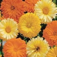 Calendula Art Shades Mix - Appx 100 seeds