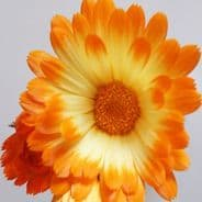 Calendula Oopsy Daisy - Appx 50 seeds