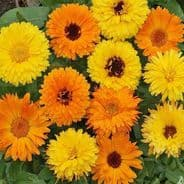 Calendula Pacific Beauty Doubles Mix - Appx 1200 seeds
