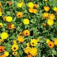 Calendula Wintersun - Appx 100 seeds