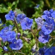 Californian Bluebell - Phacelia campanularia Appx 3400 seeds