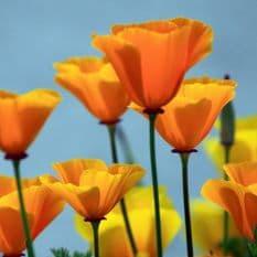 Californian Poppy - Eschscholzia - 300 seeds - 600 seeds