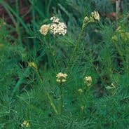 Caraway (Carum carvi) 2000 seeds / 4000 seeds