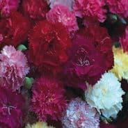 Carnation - Hardy Border Mix