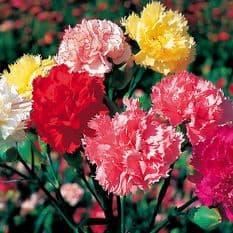 Carnation - Superb Formula Mix - 250 seeds