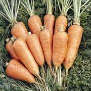 Carrot Chantenay Red - 1000 Seeds