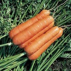 Carrot F1 Resistafly 1200 seeds