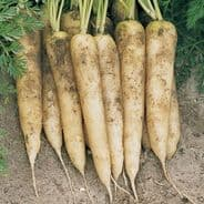Carrot F1 White Satin - appx 250 seeds