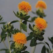Carthamus tinctorius - Safflower - 40 seeds
