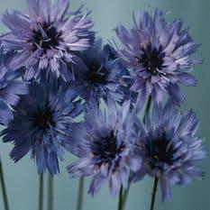 Catananche caerulea Amor Blue - 20 seeds