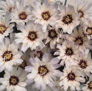 Catananche caerulea Amor White - 20 seeds