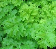 Celery Green Soup - Appx 2000 seeds