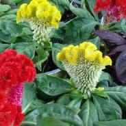Celosia cristata nana - Dwarf Mixed - Appx 1000 seeds - 1 gramme