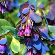 Cerinthe major pupurescens ( Honeywort ) Pride of Gibraltar 1 gram - 50 grams