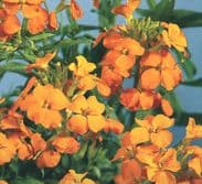 Cheiranthus allionii Orange - Siberian Wallflower - 500 seeds