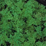 Chervil Curled - 50 grams - Bulk Discounts available