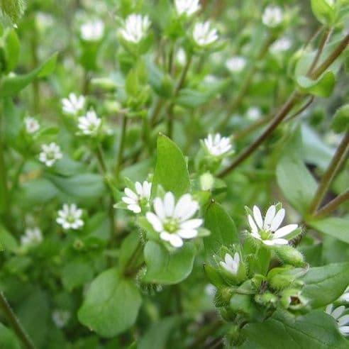 Chickweed - Stellaria media - 1000 seeds /Min 0.5grams