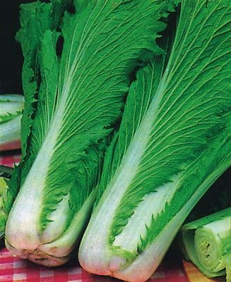 Chinese Cabbage - Wong Bok 25 grammes - 1KG