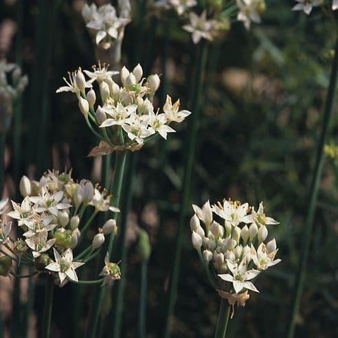 Chives - Garlic - 5 grams - Bulk Discounts Available