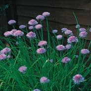 Chives - Standard - 5 grams - Bulk Discounts Available