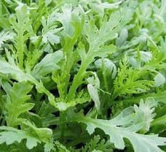 Chopsuey Greens Shungiku appx 1,200 seeds