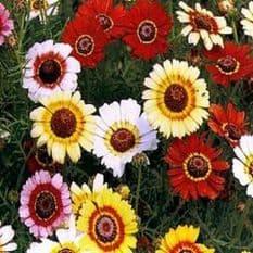 Chrysanthemum carinatum - Merry Mixed - 100 seeds - 700 seeds