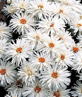 Chrysanthemum Crazy Daisy - Appx 300 seeds