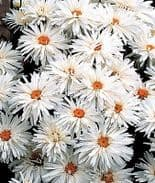 Chrysanthemum Crazy Daisy - Appx 300 seeds