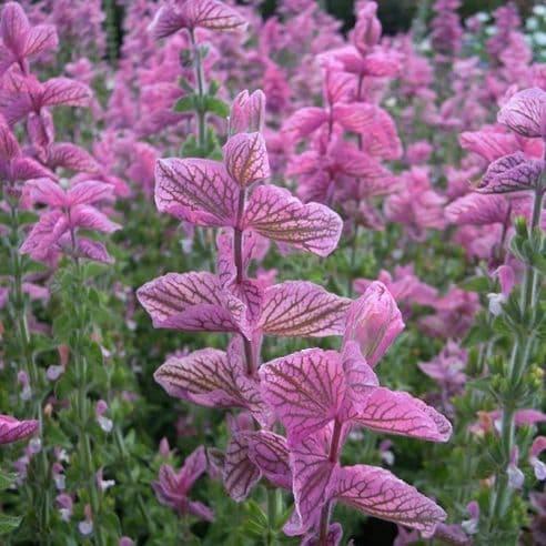 Clary - Pink Sundae - 100 seeds - 300 seeds
